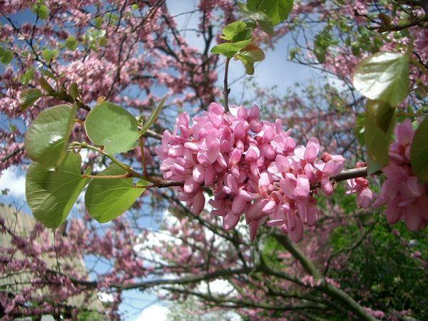4 bonnes raisons d'avoir un arbre de Judée dans son jardin