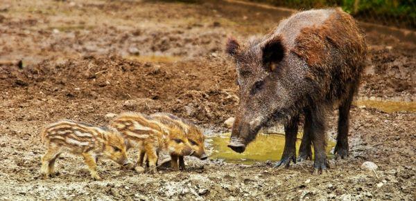 2 animaux sauvages qui causent des dégâts : le sanglier et le renard